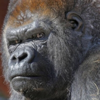 Dr. Colin Holman gives gorilla a root canal